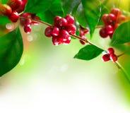 Kaffeträd med bönor arkivbilder
