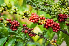 Kaffeträd med mogna bär arkivbild