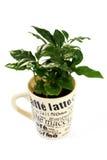 kaffeväxt royaltyfri bild