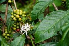 kaffeväxt Royaltyfria Foton