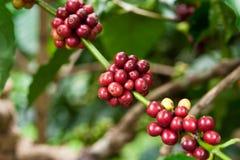kaffeväxt Arkivbild