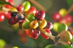 kaffeväxt Arkivbilder