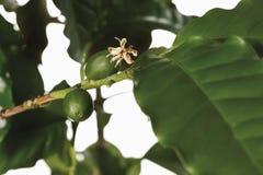 Kaffeväxt, kaffearabica, närbild av frukter Royaltyfria Foton