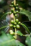 Kaffeväxtnärbild arkivbilder