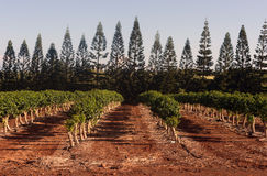 Kaffeväxter växer den tropiska ön som brukar det jordbruks- fältet Arkivfoton