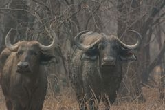 Kaffir buffalo in the savanna of in Zimbabwe South Africa royalty free stock images