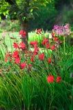Kaffir Lilies. Schizostylis (Kaffir Lily) an excellent plant which flowers in both winter and summer stock photos