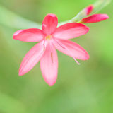 Kaffir Lily Royalty Free Stock Photo
