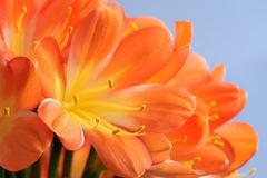 Kaffir lily. The close-up of flower of kaffir lily. Scientific name: Clivia miniata royalty free stock image