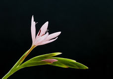 Kaffir lily Royalty Free Stock Images