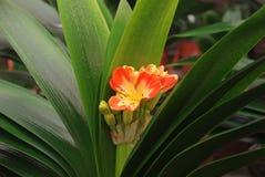 Kaffir lily Stock Photos