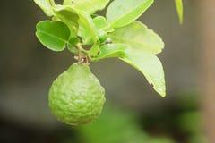 Kaffir Lime. Or Bergamot fruit hanging on tree stock photography