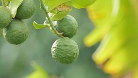 Kaffir lime, Bergamot fruits on tree