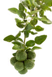 Kaffir lime / bergamot fruit Stock Photos