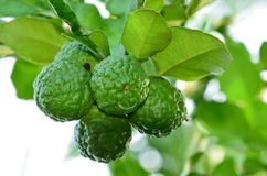 Kaffir Lime Stock Image