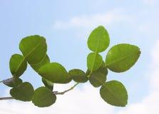 Kaffir Lime or Bergamot leaves Stock Image