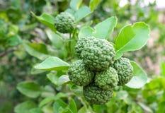 Kaffir lime. Or Citrus hystrix stock images