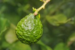 Kaffir lime Citrus hystrix fruit Stock Images