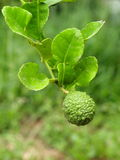 Kaffir lime. Citrus x hystrix, tropical plants with green leaves rough texture fruits with white flowers. under natural sunlight with green nature bokeh royalty free stock images