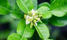 Kaffir lime flower. And bud on tree royalty free stock images