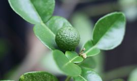 Kaffir lime fruit. Grown on tree royalty free stock photos