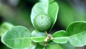 Kaffir lime fruit. Grown on tree royalty free stock photography