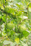 Kaffir Lime fruits on tree. Kaffir Lime fruits growing on tree. These are a feature of Thai cooking as well as the leaves which are quite aromatic Stock Image