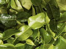 Kaffir lime leaf food background Royalty Free Stock Photo