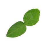 Kaffir lime leaf, an important ingredient for Thai cuisine. Stock Photos