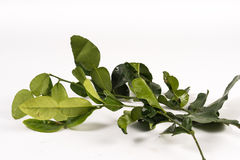 Kaffir Lime Leave Stock Images
