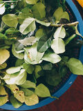 Kaffir lime leaves for cooking. Stock Photo