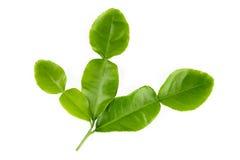 Kaffir lime leaves. Fresh kaffir lime leaves isolated on white background royalty free stock image