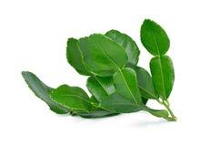 Kaffir lime leaves Stock Image