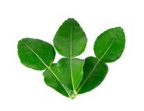 Kaffir lime leaves Royalty Free Stock Photos