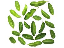 Kaffir lime leaves help nourish scalp and hair. Kaffir lime leaves And shampoo bottles help nourish scalp and hair Isolated on white background royalty free stock photos