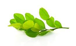 Kaffir lime leaves. The Kaffir lime leaves on white backgrond stock images