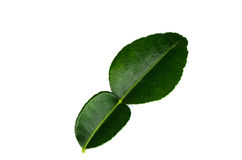 Kaffir lime leaves. Royalty Free Stock Photo