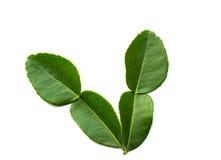Kaffir lime leaves Royalty Free Stock Images