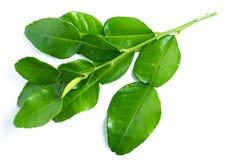 Kaffir lime leaves on white. Background royalty free stock image