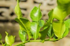 Kaffir lime, Leech lime, Mauritius papeda, Citrus hystrix DC Stock Photos