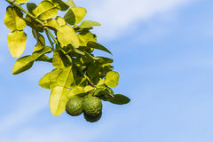 Kaffir lime , leech lime. Stock Photography
