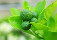 Kaffir lime on tree Stock Images