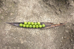 Kaffir limes on cracked ground Royalty Free Stock Images