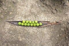 Kaffir limes on cracked ground. Kaffir limes on cracked dry soil ground Royalty Free Stock Images