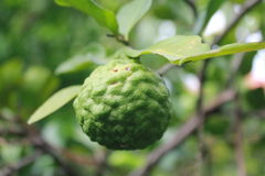Kaffirlimefrukt Arkivbilder