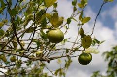 kaffirlimefrukttree Arkivbild