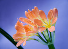 Kafir lily Royalty Free Stock Photo