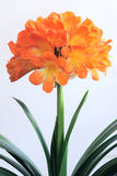 Kafir lily Royalty Free Stock Photo