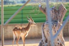 Kafue Flats Lechwe deer royalty free stock photos
