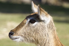 Kafue Lechwe. Side view of a Kafue Lechwe Stock Images